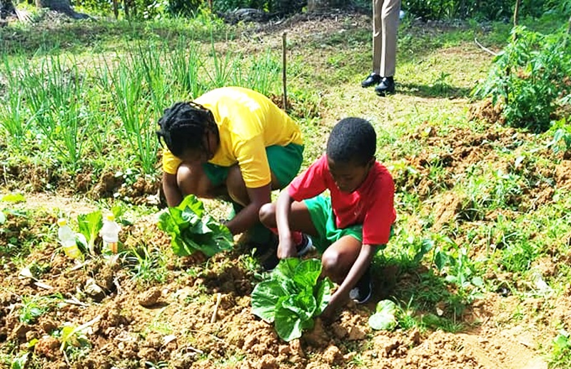 Point Hill wins parish contest | students learning through agriculture